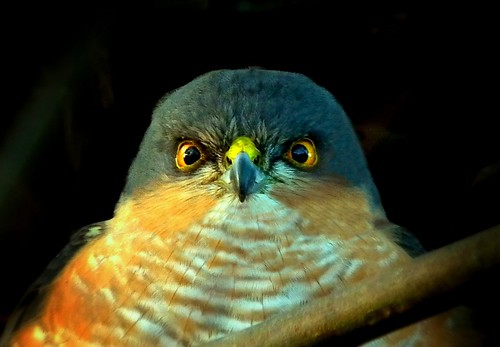That Male Sparrowhawk ~ Without the twig... | by Cosper Wosper