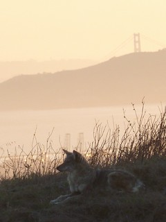 1coyote2 marina chainey richmond | by Contra Costa Times