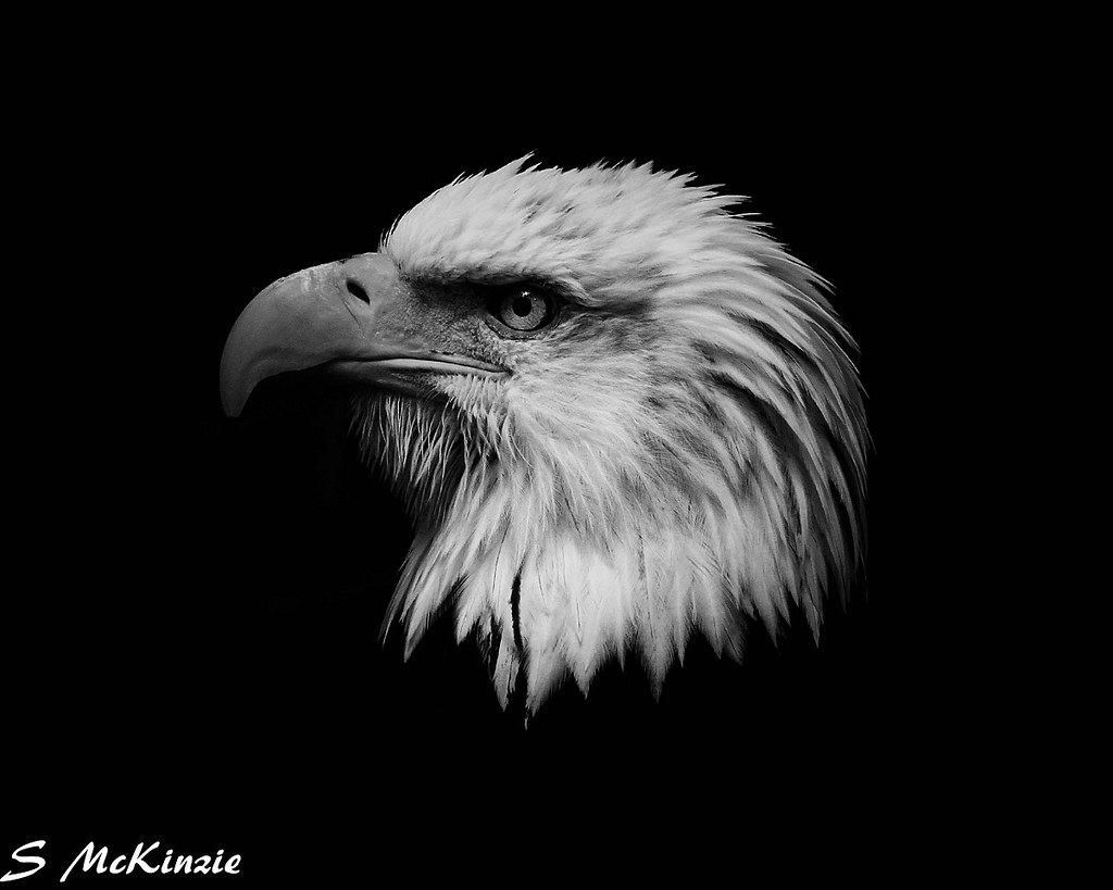 Bald eagle black and white by s mckinzie mckustoms