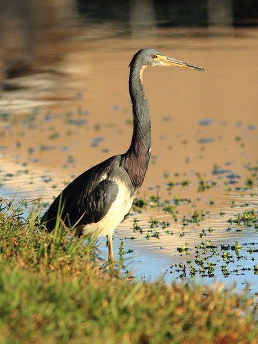 Tricolored Heron 2-20111231 | by Kenneth Cole Schneider