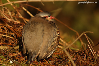 Red legged Partridge | by gcampbellphoto