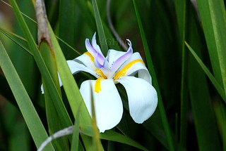 African Iris ~ Dietes iridioides | by HGHjim
