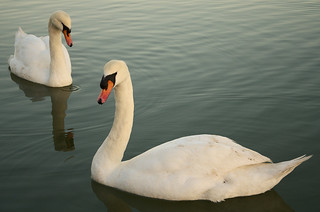 Swanning about | by JonTaylor71