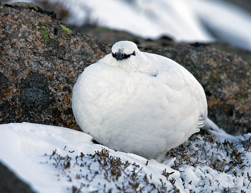 Ptarmigan puffing out | by David C Walker 1967