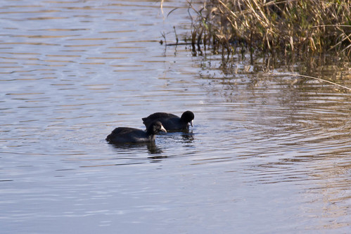 American Coots | by nestwatcher