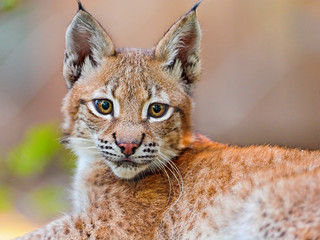 The baby lynx posing | by Tambako the Jaguar