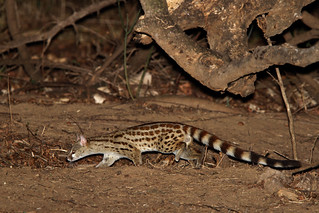Large-spotted Genet | by Thomas Retterath