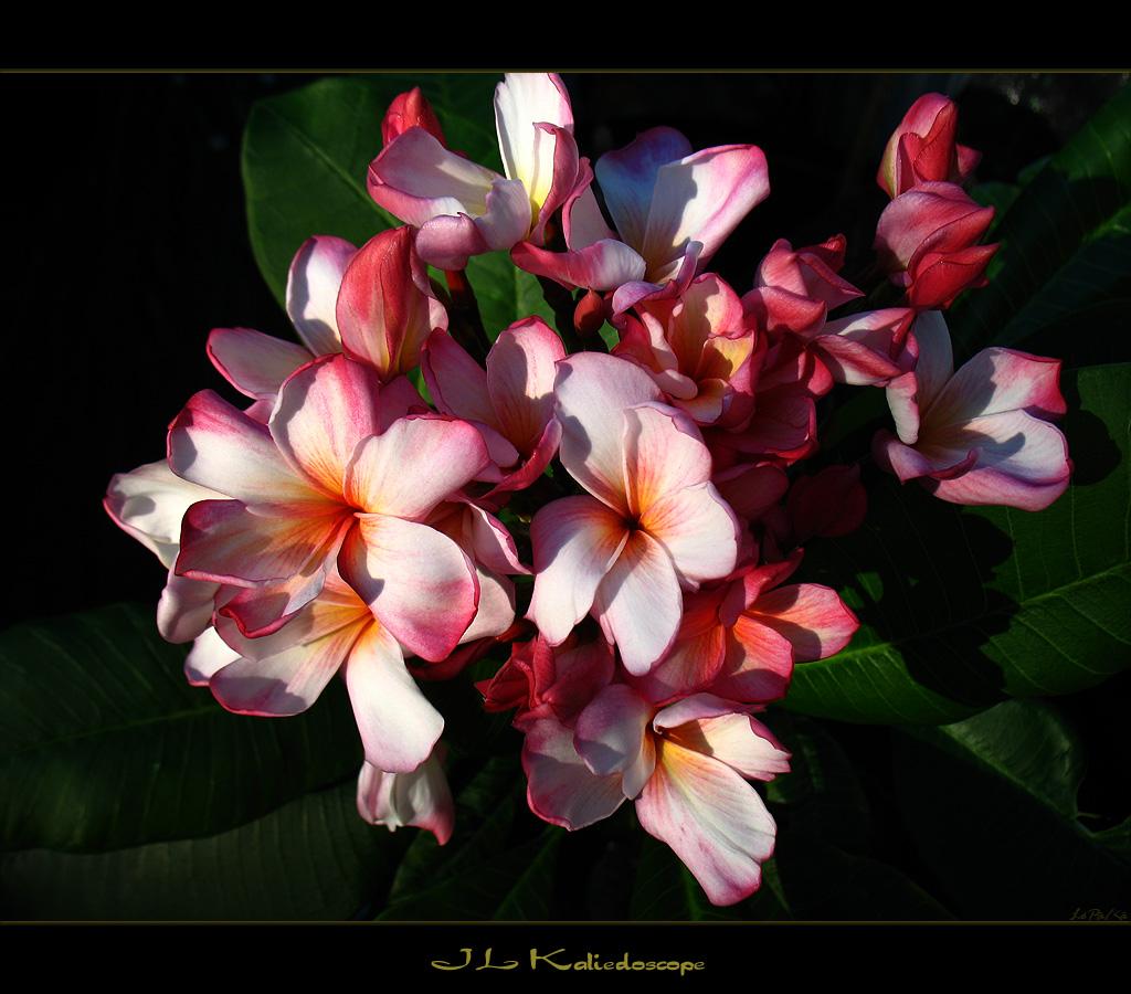 Hawaiian Flowers The Plumeria Jl Kaliedoscope Here Is Th Flickr