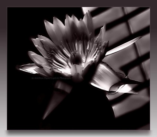 Water Lily - Monochrome | by kelollman - Digital Captivity Photography