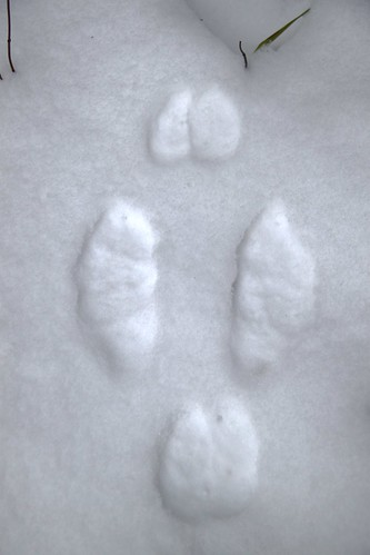 Photo of the Week - Snowshoe Hare tracks in snow (VT) | by U. S. Fish and Wildlife Service - Northeast Region