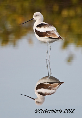 American Avocet - Recurvirostra americana | by Cleber C. Ferreira