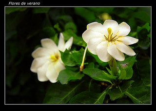 Flores de verano 2 | by margasil (Betty)