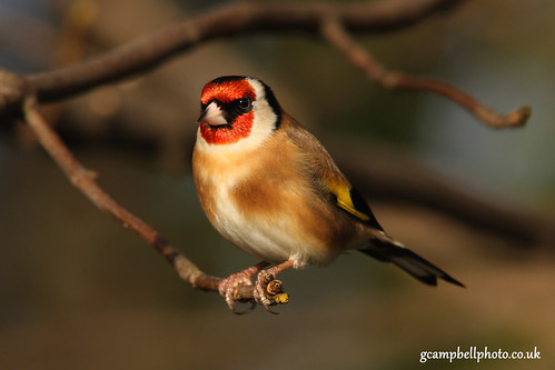 Goldfinch | by gcampbellphoto