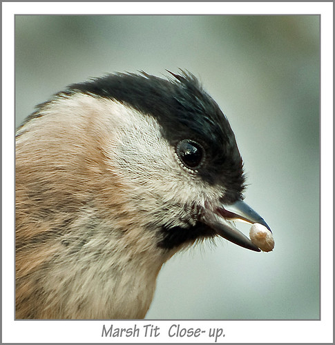 Marsh Tit   Close- up. | by Andy Short's Nature Photography.