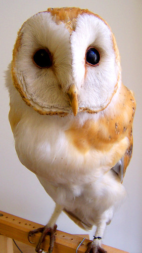 Falconer Barn Owl | by Falconer Museum - Moray Connections
