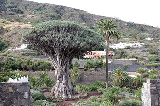 Tenerife, dragon tree | by mjobevspics