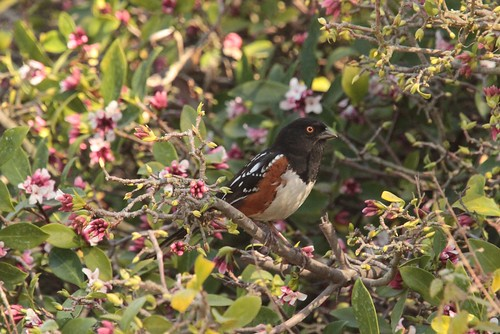 Spotted Towhee | by CaliKatBird
