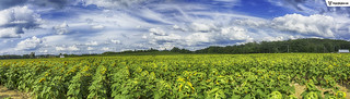 Sunflower Field Panoramic | by gregvarghese