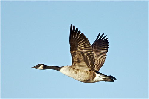 Canada Goose On The Wing | by Jeannot7