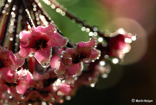 Rain drops on Hoya carnosa flowers | by Martin_Heigan