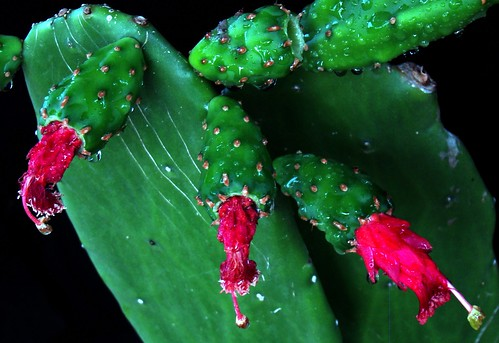 COCHINEAL CACTUS Series:  #4 | by 3Point141