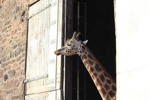 Giraffe showing its height | by JULZTphotography