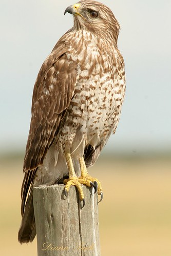 Hawk | by dianat03