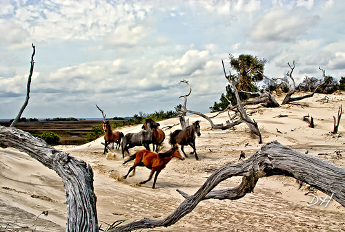 Wild Horses of Cumberland Island | by David Hawkins Photography