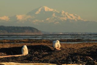 What is better than 1 snowy owl? 2 snowy owls and their friends | by Eyesplash - Summer was a blast, for 6 million view