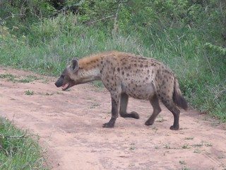 Hyena, Sabi Sands Game Preserve, Limpopo, South Africa | by Marc_Smith