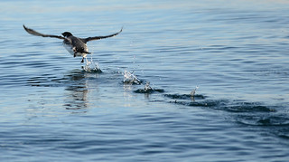 Ancient Murrelet | by Potoo