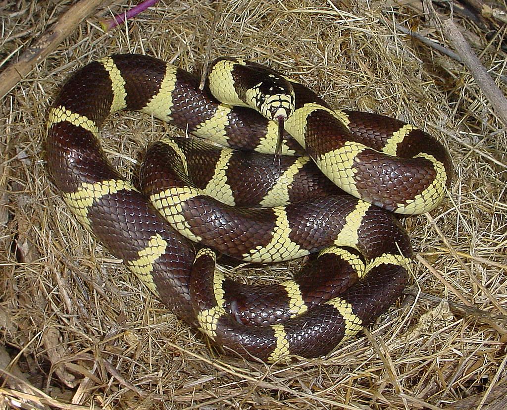California Kingsnake Banded Morph San Luis Obispo Coun Flickr - California king snake morphs