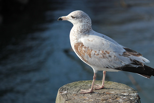 Old Town Gull | by zeroflux-dot-com
