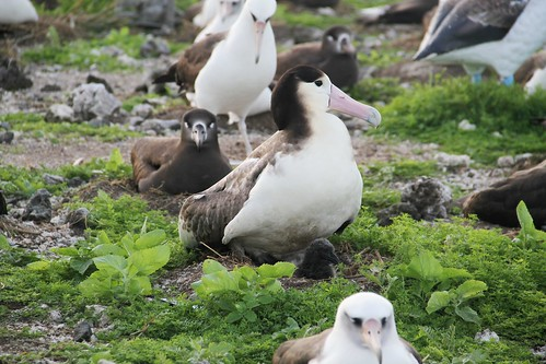 Short-tailed Albatross Chick 2012 | by USFWS Pacific