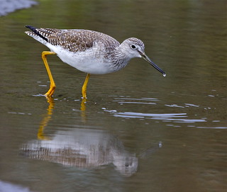 Greater Yellowlegs | by flythebirdpath > > >