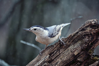 Wintery Nuthatch | by Spring Noel