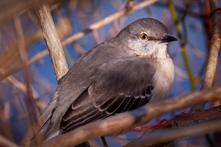 Northern Mockingbird | by jeffsmallwood