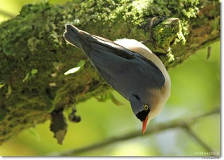 Velvet fronted Nuthatch | by Gurusan2010