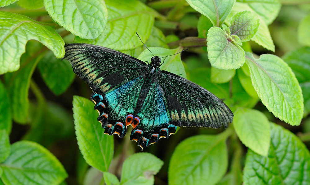 swallowtail butterfly black Alpine
