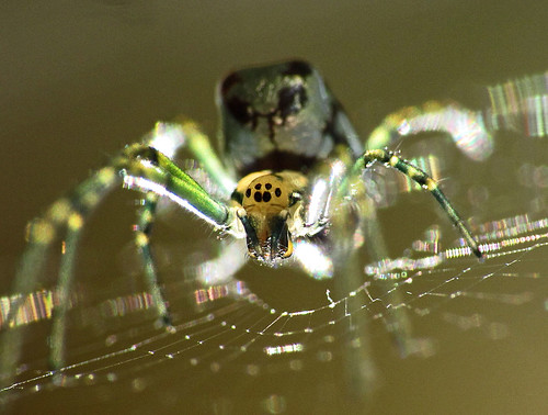 Silver orb spider | by LSydney