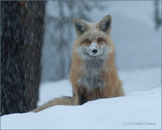 Mystery Fox... | by Tundra Winds Images by Donna