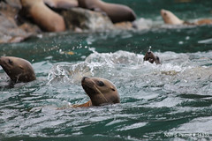 Young Steller sea lion