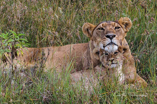 Lioness and cub, Ol Pejeta Conservancy, Kenya | by LHildDVM