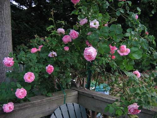 Climbing rose on the deck | by cpf1
