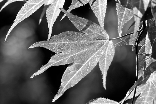 Another leaf from my fav tree..... | by Zafar (newatclicking is chewing the cud....)