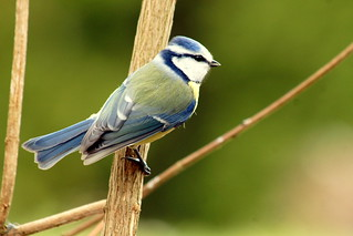 European Blue Tit  , Cyanistes caeruleus | by manum.net - Photos from Manum Gård