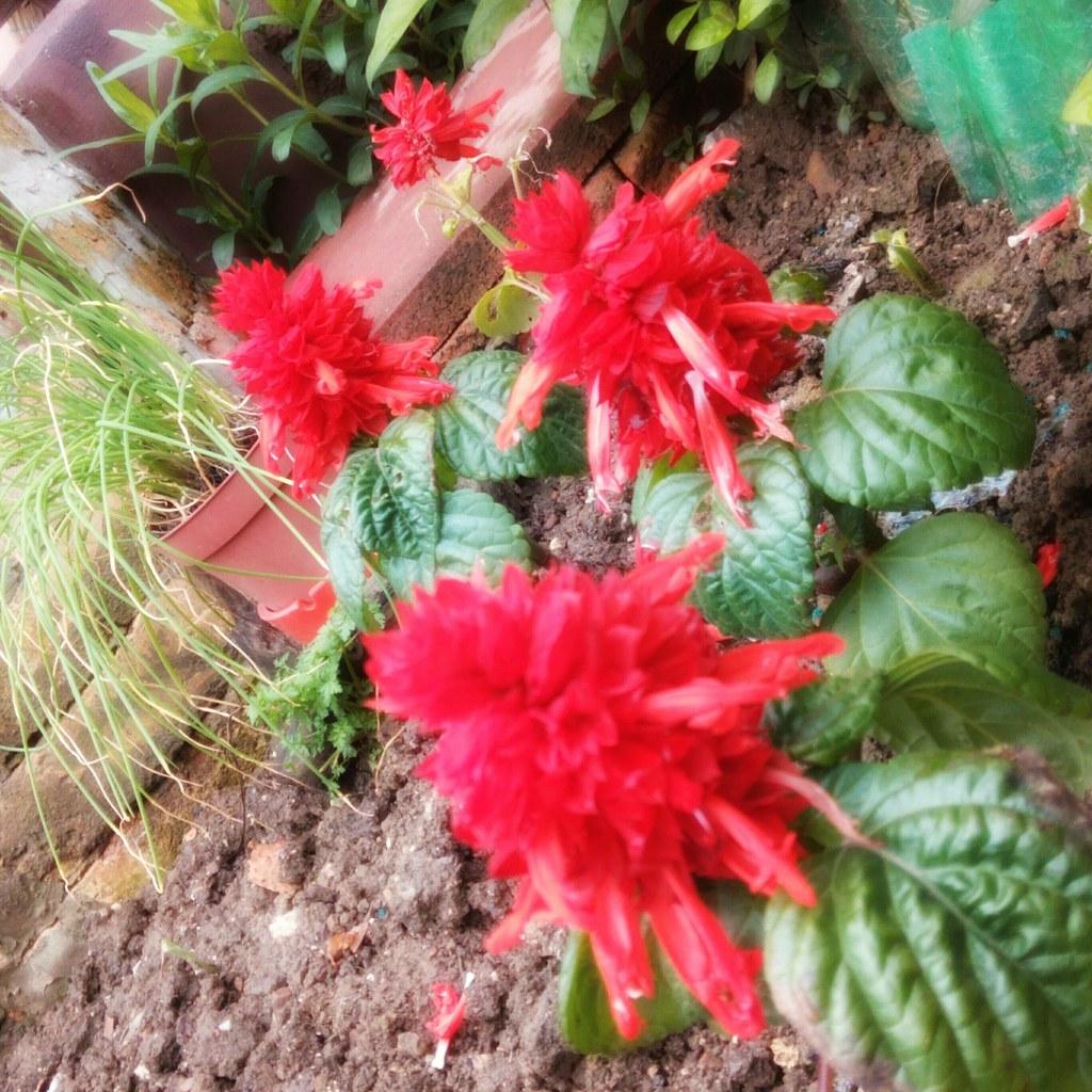Danas Garden Dvorište Garten Flower Blume Cvet Cvij Flickr