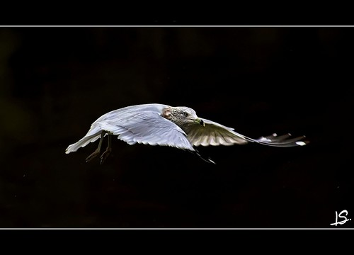 Gull in Mid-Air | by Jeff S. PhotoArt at HDCanvas.ca