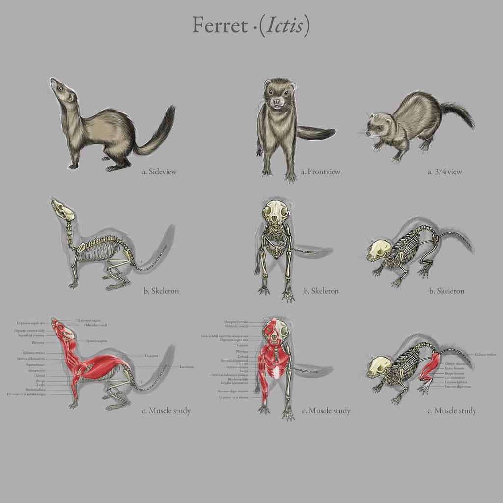 Ferret (Ictis) | Atelier Périsset | Flickr