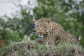 leopard | by matt duke